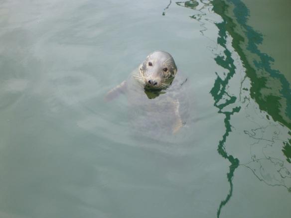 Hafenseehund Kilmore