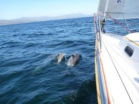 Bantry Bay Delfine