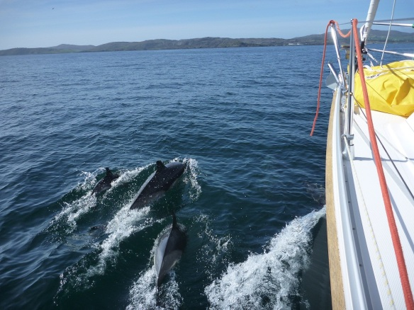 Delfine vor Crookhaven