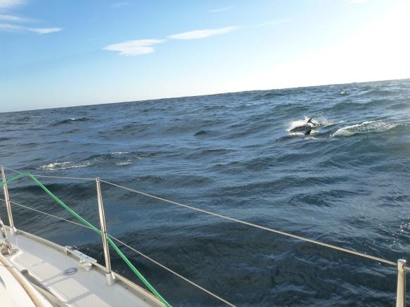 Delfine im Springen