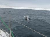 150713_Dolphin2